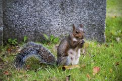 The grey squirrel royalty free stock photography