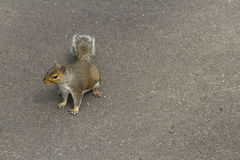 Grey squirrel, gray, Sciurus carolinensis, space to right. Stock Photography