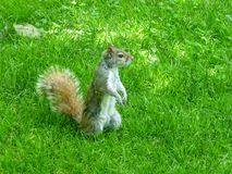 Grey Squirrel Royalty Free Stock Image