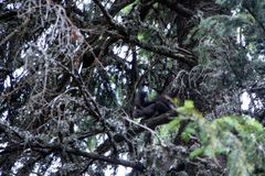 Grey squirrel. A grey squirrel hangings over a branch of a pine tree Royalty Free Stock Photography