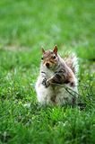 Grey Squirrel. A grey squirrel standing in the grass stock photo