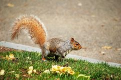 Grey Squirrel. A grey squirrel standing beside road stock photo