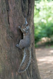 Grey Squirrel hanging on tree Stock Photography