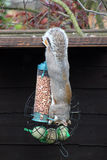 Grey squirrel hanging upside down eating nuts from a nut bag Royalty Free Stock Photography
