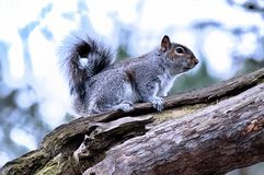 Grey Squirrel Happy Days foto de archivo libre de regalías