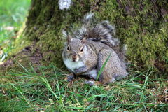Grey Squirrel herein BC stockbilder