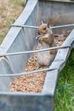 Grey Squirrel-het voeden in landbouwbedrijftrog Royalty-vrije Stock Foto's