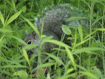 Grey squirrel hidden in the tall grass stock photography