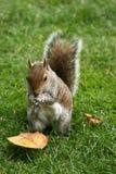 Grey squirrel hiding nut royalty free stock photography