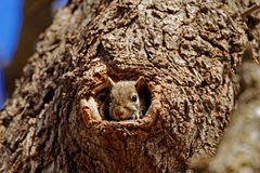 Grey Squirrel in a Hole royalty free stock photos