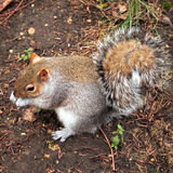 Grey squirrel, Hyde park, London Stock Image