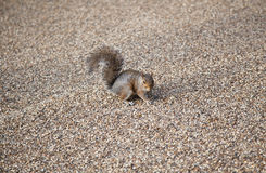 Grey squirrel, Hyde park, London Royalty Free Stock Photography