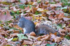Grey squirrel in Hyde park - London Stock Photos