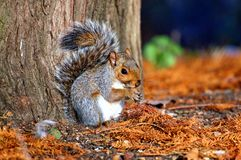 Grey squirrel in Hyde park - London Royalty Free Stock Photography