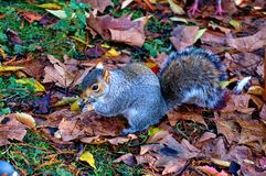 Grey squirrel in Hyde park - London Royalty Free Stock Images