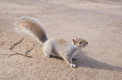 Grey squirrel in Hyde Park - London Royalty Free Stock Photos