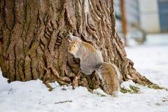 Grey Squirrel i snön, Lachine, Montreal, Quebec, Kanada Arkivbild