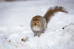 Grey Squirrel i snön, Lachine, Montreal, Quebec, Kanada Royaltyfri Foto