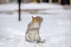 Grey Squirrel i snön, Lachine, Montreal, Quebec, Kanada Arkivfoto