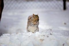 Grey Squirrel i snön, Lachine, Montreal, Quebec, Kanada Arkivbilder