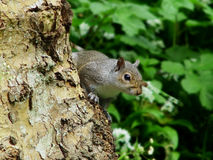 Grey Squirrel II. An Eastern Grey Squirrel (Sciurus Carolinensis) peering around the edge of a tree Stock Photography