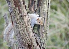 Grey Squirrel im Baum lizenzfreie stockbilder