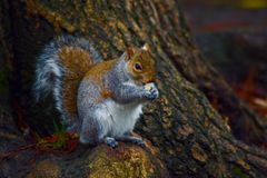 Free Grey Squirrel In Search For Food Royalty Free Stock Photo - 139873195