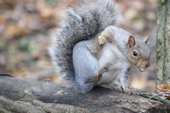 Grey squirrel with an itch. Royalty Free Stock Photos