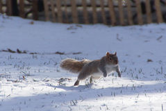 Grey squirrel is jumping on snow Stock Photos