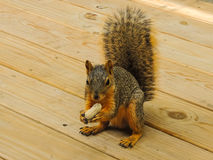 A Grey Squirrel. A large grey squirrel eating a peanut on a wooden deck Stock Image