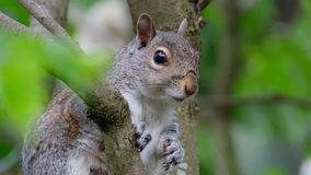 Grey Squirrel in Lilac tree. stock video footage