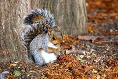 Grey squirrel in Hyde park - London Royalty Free Stock Image