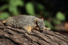 Grey squirrel on a log Stock Image