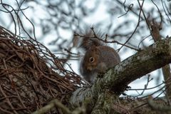 Grey Squirrel Looking Down From uma árvore Fotografia de Stock Royalty Free