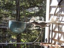 Grey Squirrel Looking innovatore per le arachidi che ciondola fuori dallo scaffale dei panettieri Immagini Stock
