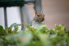 Grey squirrel looking over a hedge Royalty Free Stock Photography