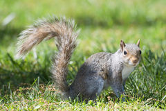 Grey squirrel looking at you Stock Images