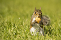 A grey squirrel looking at you Royalty Free Stock Photography
