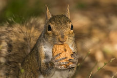 A grey squirrel looking at you while holding a nut. Close up royalty free stock photography