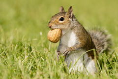 A grey squirrel looking at you while holding a nut. On green grass background stock images