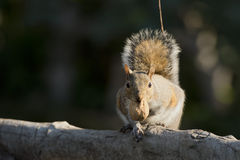 Grey squirrel looking at you Royalty Free Stock Images