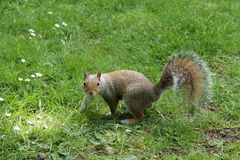 Grey Squirrel. Stock Photos