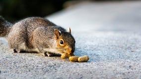 Grey Squirrel Lured por los cacahuetes imagenes de archivo