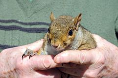 Grey squirrel in mans hands. Royalty Free Stock Photography
