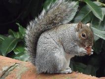 Mr Bushy Tail. A Grey Squirrel stock photography
