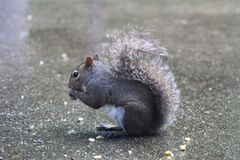 Grey Squirrel Munching Kernels av havre royaltyfri foto