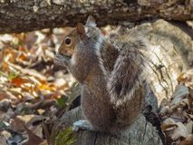 Grey Squirrel Munching nella caduta fotografia stock libera da diritti