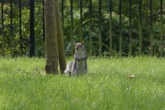 Grey Squirrel nära träd Arkivbild