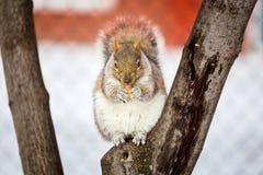 Grey Squirrel na neve, Lachine, Montreal, Quebeque, Canadá Fotografia de Stock Royalty Free