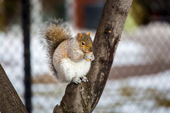 Grey Squirrel na neve, Lachine, Montreal, Quebeque, Canadá Imagens de Stock Royalty Free